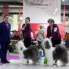Quene aka Griland The Magic Queen win BISS in 13 months from 10 dogs in breed! Junior Club Winner, Best junior, BOB ! Misha aka Griland Throughout the World win R.BISS in 13 months from 10 dogs in breed! Junior Club Winner, Best junior, BOS!