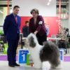 Misha aka Griland Throughout the World win R.BISS in 13 months from 10 dogs in breed! Junior Club Winner, Best junior, BOS!