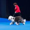 Eja aka Griland Keep of The Win win Best Puppy in Breed. Owner Ольга Кипина