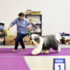 Griland Throughout he World - 2*CAC, 2*BOB, r.BIG-3, Best In Group, r.BEST IN SHOW!!!