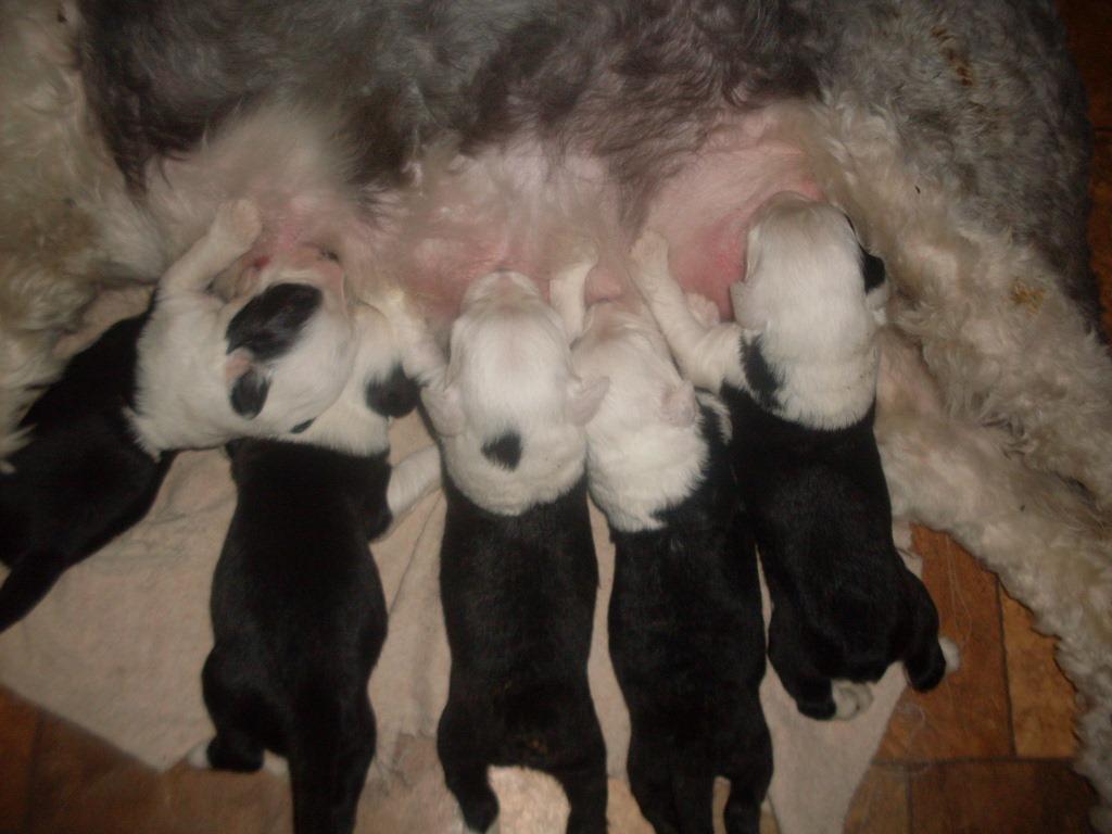 11 Июня от Снуппа родились щенки в Барнауле!